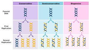 Dna Replication Definition Semi Conservative Bioninja
