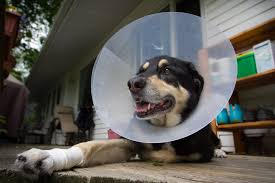 elizabethan collar alternative elegant e alternatives 5 pet friendly substitutions for the cone of with regard to
