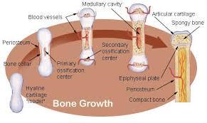Seer Training Bone Development Growth