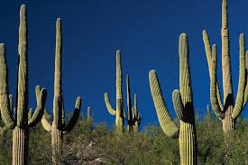 <b>cactus</b> | Description, Distribution, Family, & Facts | Britannica