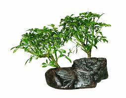 bonsai tree for office. Hawaiian Umbrella Bonsai Tree For Office