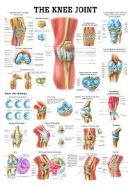The Knee Joint Laminated Anatomy Chart Health Knee Joint