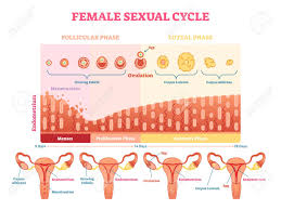 Ovulation Chart Image Female Sexual Cycle Vector Illustration Graphic Diagram With