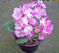 african violet pink
