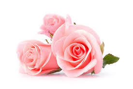 Rosa rosa chiaro: cosa significa nel linguaggio dei fiori?