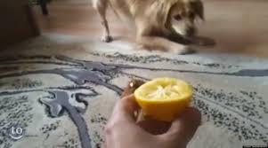 Σε τι άλλο βοηθάει το λεμόνι τον σκύλο;
