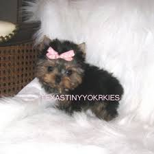 beautiful female yorkie for posing on a couch