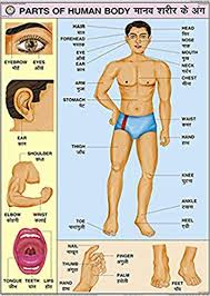 Buy Parts Of Human Body Chart 70x100cm Book Online At Low