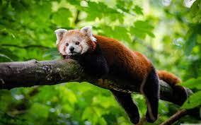 Red Panda Cute Wallpapers - Top Free ...