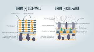 Gram Negative Bacteria Chart Gram Positive Vs Gram Negative Technology Networks