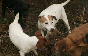 ratting with terriers the kill