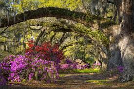 magnolia plantation oak and azaleas lightbox image charleston
