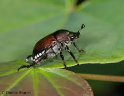 japanese beetles life cycle japanese beetle mdc discover nature