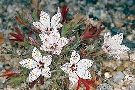 desert plants flowers. Fine Flowers Lilac Sunbonnet Langloisia Setosissima In Desert Plants Flowers S