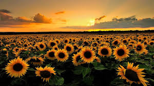 desktop background. Fine Background Desktop Backgrounds Sunflowers Download  Lovely Sunflowers Wallpaper Hd  Images New Regarding  1920 X 1080  To Desktop Background O