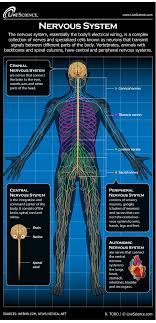 Your abdomen is the middle part of the front of your body, between your chest area and your pelvis. Human Nervous System Diagram How It Works Live Science