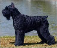 Giant Schnauzer Size Chart Giant Schnauzer Dog Breed Facts And Traits Hills Pet