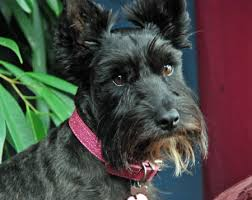 scottish terrier mix. Interesting Terrier Beagle Scottish Terrier Mix Inside R