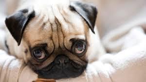 hd pics photos beautiful pug dog face close up stunning pets hd quality desktop background wallpaper