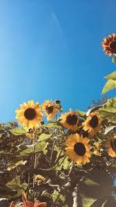 Sunflower wallpaper, Aesthetic ...