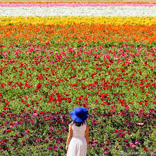 carlsbad flower fields 11 beautiful southern california flower fields you must visit this spring