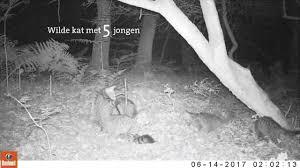 Wilde Kattenkroost In Het Vijlenerbos Ark Natuurontwikkeling