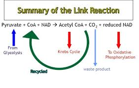 Glycolysis And The Krebs Cycle Biology Revision