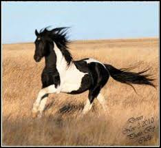 black and white paint horses running. Delighful Running Gorgeous Wild Black And White Paint Mustang Loping On The Prairie On And Horses Running A