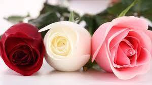 beautiful rose hd wallpapers