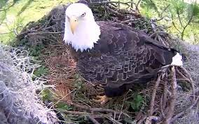 pritchett eagle cam. Exellent Eagle Eagle Cam  North Fort Myers Dick Pritchett Real Estate LIVE Feed Of A Inside K