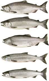 Salmon And Steelhead Northwest Power And Conservation Council