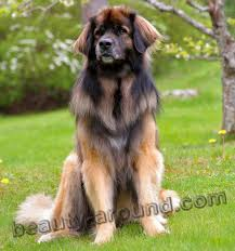 most beautiful dog breeds in the world. Contemporary The Leonberger Beautiful Photos Of Dog Breeds Throughout Most Dog Breeds In The World