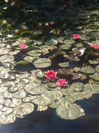 pond photograph water lilies in my secret garden in the desert by faye niesen