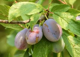 Plums Planting And Growing Plum Trees The Old Farmers
