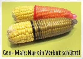 Sauerei: EU erlaubt Import von Schweizer Gen Mais!