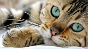 Resultado de imagen de imagen gato