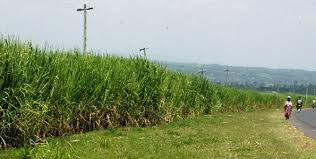 Resultado de imagen de sugar cane plantation in the pacific islands