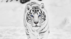 white tiger wallpaper hd 1080p. Beautiful White 1920x1080 Free Pics Of White Tigers  High Resolution Wild Animal White  Tiger Wallpaper HD 19 Inside Hd 1080p