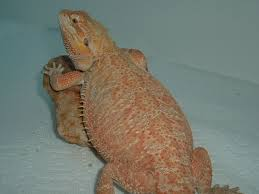 male and female leatherback bearded dragon
