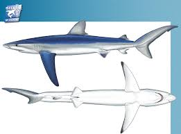 carols dolphin project blue sharks common s blue shark blue dog blue whaler peau bleue fr tiburon azul es