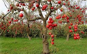 fruit trees wallpapers. Interesting Trees Apple Tree Wallpapers  Full HD Wallpaper Search Intended Fruit Trees Wallpaper Cave