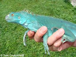 Image result for iguana