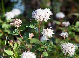 alaska is full of wildflowers in the spring and summer this whiteish flower is the labrador tea blossoms from along the table top mounn trail in the blm