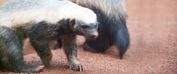 Image result for honey badger