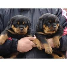 kansas city ks rottweiler puppies available