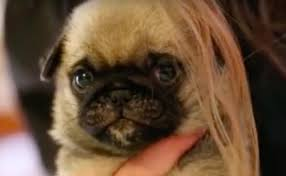 Bored Panda Glorious Baby Pug Loaf Cant Get Enough Of Moms Hair Dreamstime Glorious Baby Pug Loaf Cant Get Enough Of Moms Hair Barkpost