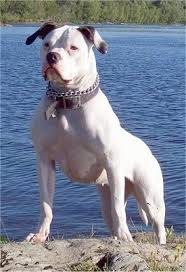 american bulldog red nose pitbull mix. Perfect Nose American Bulldog On Red Nose Pitbull Mix I
