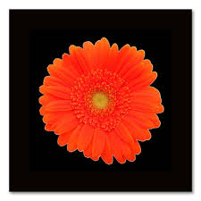 orange gerber daisy canvas wall art on gerber daisy canvas wall art with orange gerber daisy canvas wall art