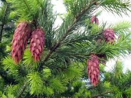 Эволюция растений голосеменные Предшественники цветковых растений
