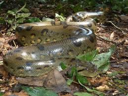 amazon rainforest animals anaconda. The Green Anaconda Eunectes Murinus On Amazon Rainforest Animals